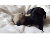 Stunning pup puppies
