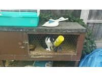 Dutch rabbits male for sale