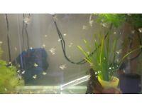Small silver angelfish