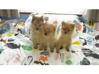 Girl & Boy Pomeranian