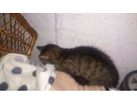 Lost male tabby cat dark brown grey fur thin and hungry Sale Moor/northern moor boundary