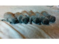 Kc registered french bulldog puppies blue