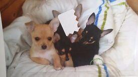 Chihuahua pup smooth coat