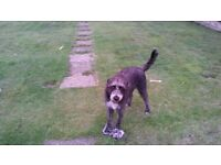1 Year old Dalmation Lurcher Cross for Sale