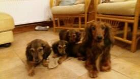 Standard longhaired Dachshund pups for sale