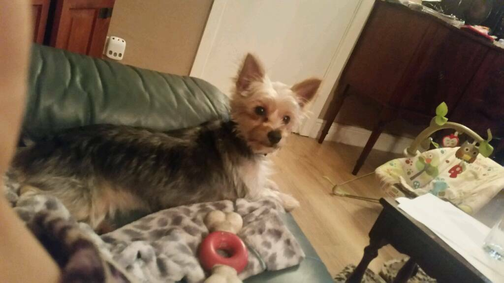 Yorkie Cross Chihuahua Still Available 26092017 In Port Talbot