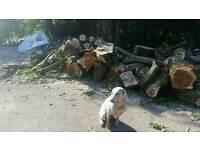 6 poplar trees freshly cut down