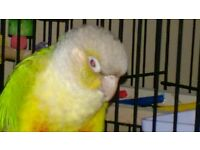 Missing Pineapple green cheeked conure