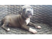 Puppy Blue staffy male