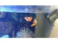 Marine fish tank mature clowm fish and cleaner shrimp