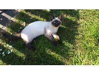 Ragdoll x tonkinese kitten