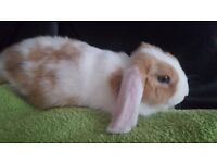 Mini lop male blue eyed rabbit named Fudge