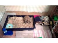 Rabbit (Dwarf Lop) for Sale