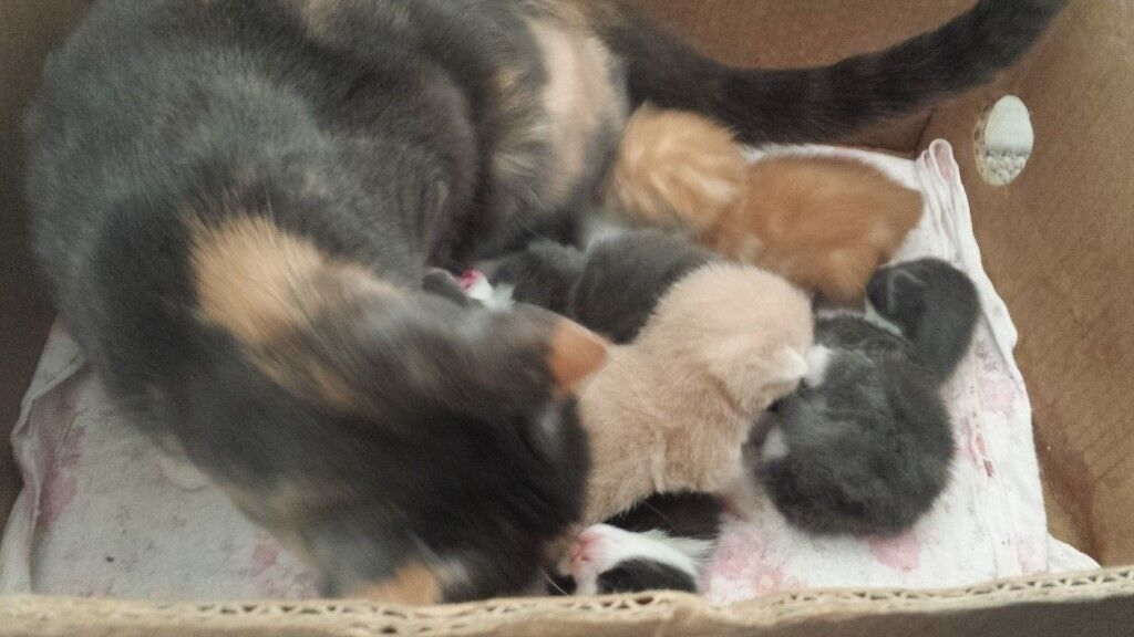 long haired femae l kittens males and females