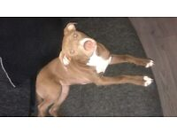 4 month old girl puppie for sale