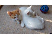 11 week old lovely white and ginger kittens.