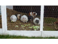 Guinea pigs for sale choice of 3 boys and 6 girls (2 of which are) (rex guniea pigs)