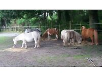 help wanted with herd of miniatures ponies. experience not essential. disabled owner just needs help