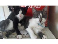 Black and White Kitten for sale