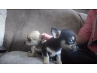 Male and female short coat chihuahua puppies