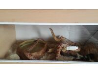 corn snake and full set up for sale