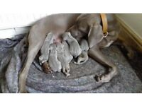weimaraner puppies 4 boys 2 girls ready end July