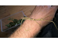 Indian / Laboratory Stick Insects