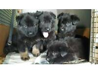 PUPPIES GERMAN SHEPHERD kc register