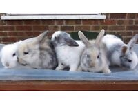 gorgeous lop eared bunnies