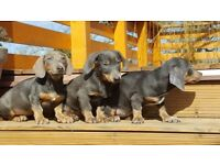 Blue Miniature Dachshund Puppies