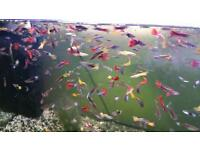Guppy/endler adults and fry available for sale