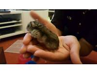 Dwarf hamsters free to good home