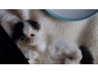 *** Persian Kittens for Sale *** Fully vaccinated/ Micro-chipped/ Starterpack/