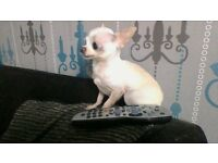 MALE CHIHUAHUA ADULT FOR SALE