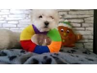 Tiny Maltese Puppies