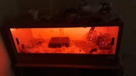 3 geckos and set up