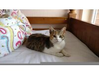 British short hair cross Female kitten