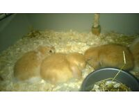 baby mini lop dwarf rabbits very tame and used to children. hutch cage accessories