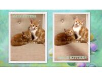 Ginger male kittens white toby short haired cat kitten their mother is cross siberian mixed lewisham
