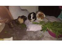 giving away guinea pigs