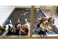Kennel Club registered Beagle Pups