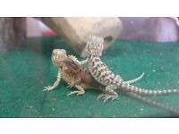 Beautiful baby bearded dragons, ready to go to their new families. Only £30 each