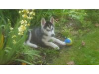 10 wk old female husky pup