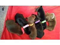Kc reg,PRA clear smooth miniature dachshund pups