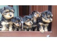 Yorkshire terrier/Yorkie puppies for sale