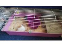 Boy and girl guinea pigs seperate cages ( charlie and lola )