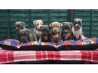 Bully puppys for sale 6 weeks old