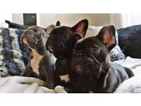 2 male French bulldog puppies ready for forever homes NOW. KC, Pedigree, full health check