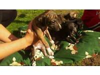 Lurcher pups saluki whipet greyhound x saluki greyhound very well bred