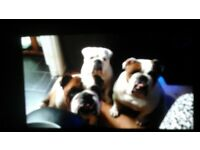 British Bulldogs. 3yr old brother & sister sadly for sale due to housing circumstances,
